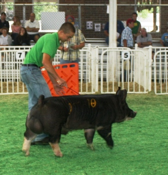 Grant showing Berkshire Boar Hostile Takeover 4-10 (2nd in Class to Champion) at the 2013 Iowa State Fair