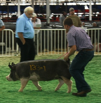 Nelson showing Berk Gilt Betty 3-10 (2nd in Class and 2nd highest selling) at the 2013 Iowa State Fair