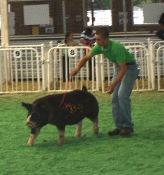 Grant showing Berk Gilt Ms Penny 38-6 (Mount-N-Do x Who Knows What) at the 2013 Iowa State Fair