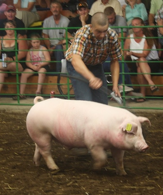 Grant showing his 2nd in Class Chester Barrow at the 2013 White County Fair (IN)