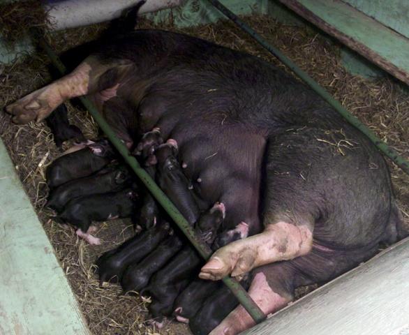 Berkshire Litter 6 - 12 pigs (Time Bandit x Fast Lane)