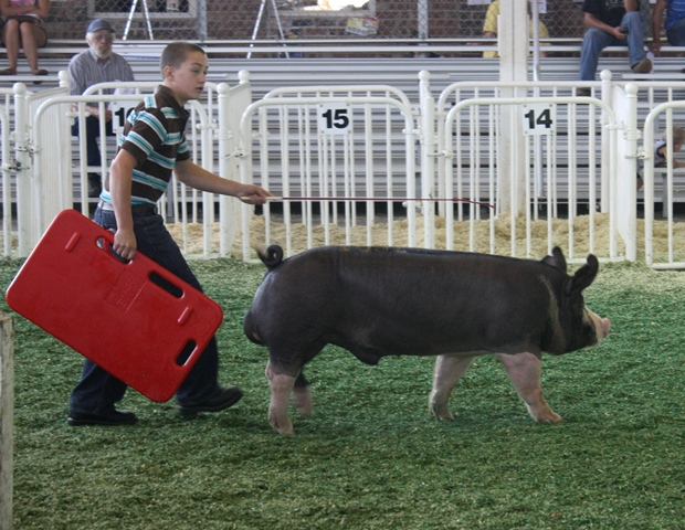 Nelson showing Reserve Champion Berkshire at 2011 Iowa State Fair