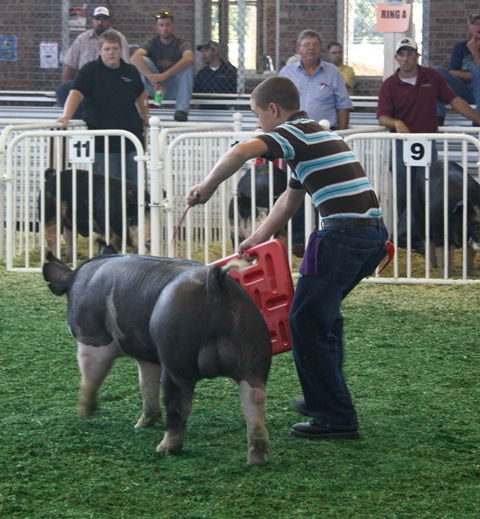 Nelson showing Reserve Champion Berkshire Boar at 2011 Iowa State Fair
