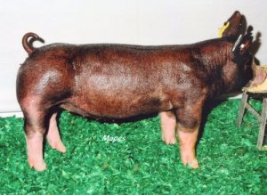 Berkshire Gilt Belle W 23-1 (Walter x Hostile Takeover x Fast Lane)