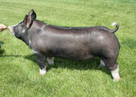 Berkshire Boar 1-9 (King Indy x Mount-N-Do)