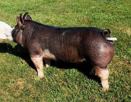 Berkshire Gilt Betty 3-10 (Walter x Torge)