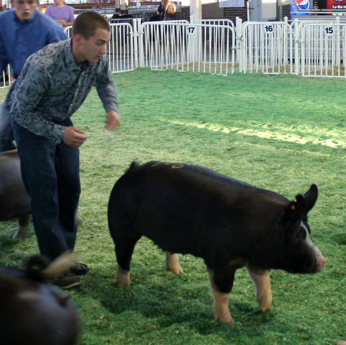 Berkshire Gilt Miss Magic 5-2 (Wanted x Walter)