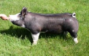 Berkshire Gilt Miss Magic 6-1 (Walter x Gary Coleman)