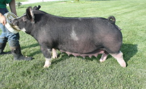 Berkshire Gilt Ms Penny 13-1 (Walter x Mount-N-Do)