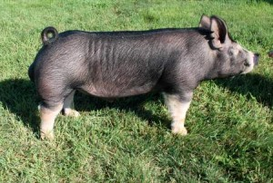 Berkshire Boar Butch Cassidy 2-1 (Wanted x Gary Coleman)
