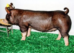 Berkshire Gilt Miss Magic 17-2 (Shock-N-Awe x Hostile Takeover)