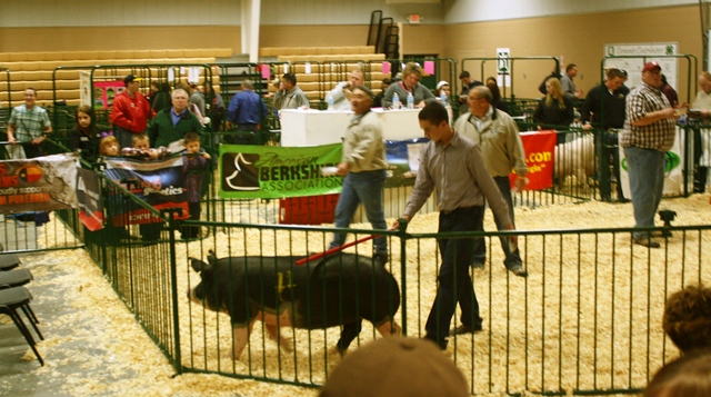 Grant showing Ms Nebraska 9-4 at Team Purebred Bred Gilt Sale 2012