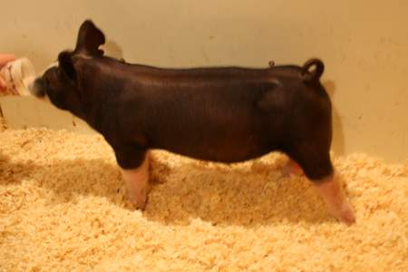 Berkshire Barrow 1-6 (King Indy x Mount-N-Do)