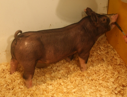 Berkshire Barrow 14-9 (Hostile Takeover x Walter)
