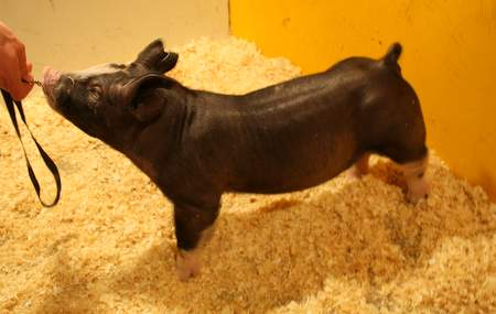Berkshire Barrow 9-6 (Walter x Superman)