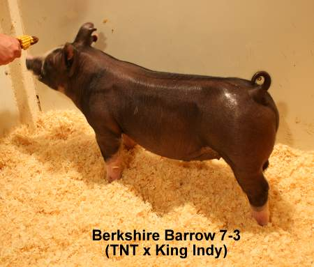 Berkshire Barrow 7-3 (TNT x King Indy)