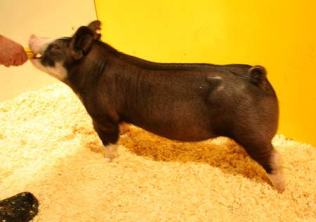 Berkshire Barrow 7-4 (TNT x King Indy)