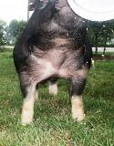 Berkshire Boar HT 4-9