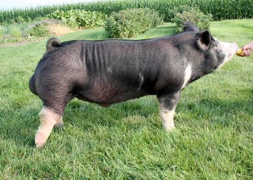 Berkshire Boar 6-4 (Walter x Gary Coleman)