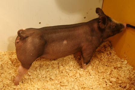 Berkshire Gilt Belle HT 15-2 (Hostile Takeover x Fast Lane)