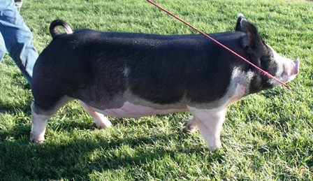Berkshire Gilt Belle W 7-2 (Walter x Fast Lane)