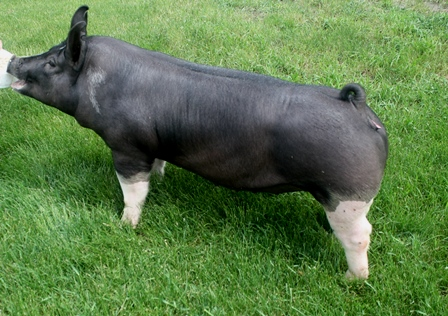 Berkshire Gilt Flashy Lady 3-6 (Black Thunder x Legend)
