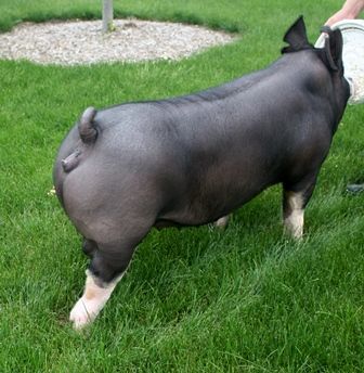 Berkshire Gilt Merril 12-2 (Torge x All You Want)