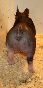 Berkshire Gilt Miss Magic 10-2 (Walter x Hostile Takeover)