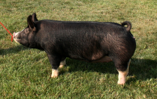 Berkshire Gilt Ms Penny 1-1 (King Indy x Mount-N-Do)