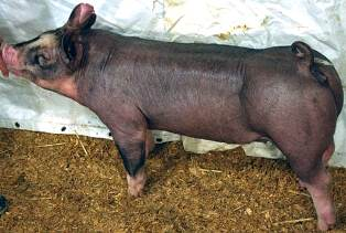 Berkshire Gilt Ms Nebraska 15-6 (9 weeks old)
