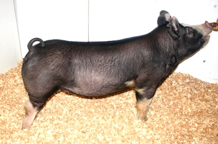Berkshire Gilt Belle HT 15-3 (Hostile Takeover x Fast Lane)
