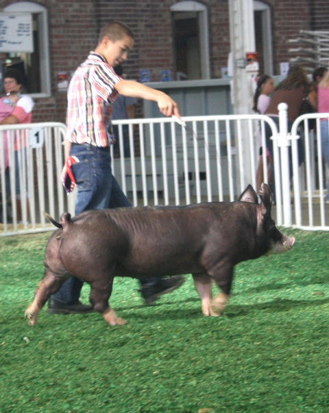 Grant showing Belle TB 6-1 at 2011 Iowa State Fair