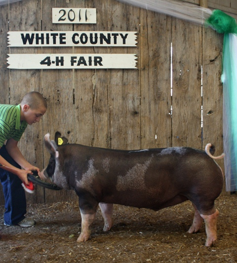 Reserve Champion Berkshire Barrow - 2011 White County Fair