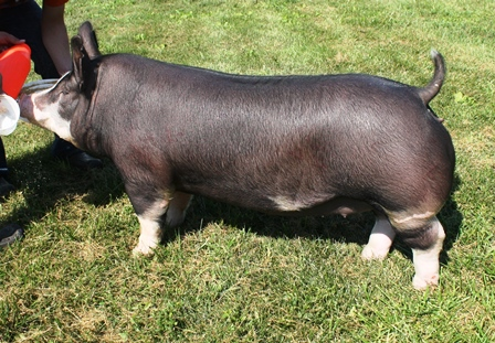Berkshire Gilt Miss Magic 4-7 (Hostile Takeover x Gary Coleman)