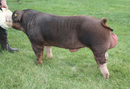 Hereford Boar Tuff-E-Nuff 2-5 (Ready To Rumble x Hershel)