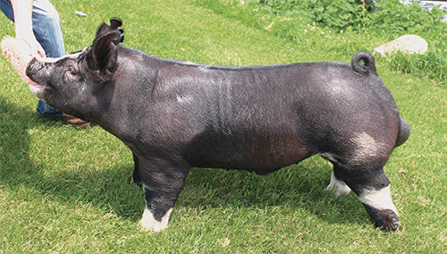Berkshire Boar Manny (King Kong x Dropout)