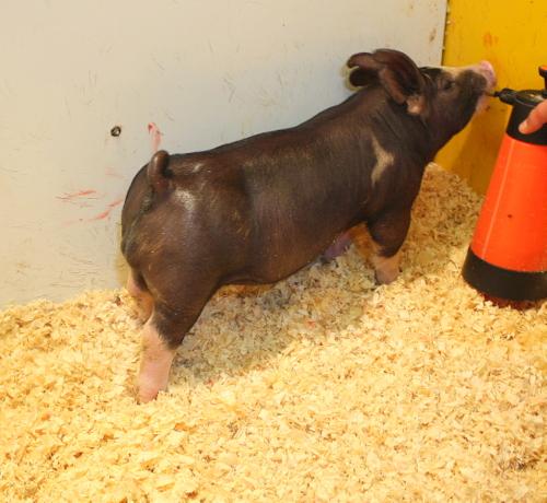 Berkshire Boar 4-5 (Butch Cassidy x Shotgun Wedding)