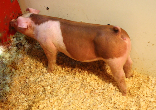 Hereford Gilt Browny 5-1 (Ready to Rumble x Double Junk)