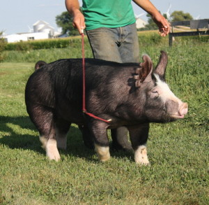 Berkshire Boar 8-4 (Mainline x Walk The Dog)