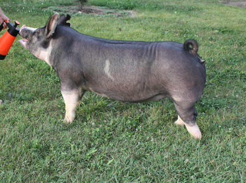 Berkshire Gilt Miss Magic 12-3 (Neon Cowboy x Hostile Takeover)