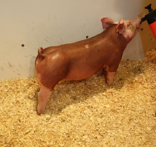 Hereford Gilt 5-2 (Ready to Rumble x Double Junk)