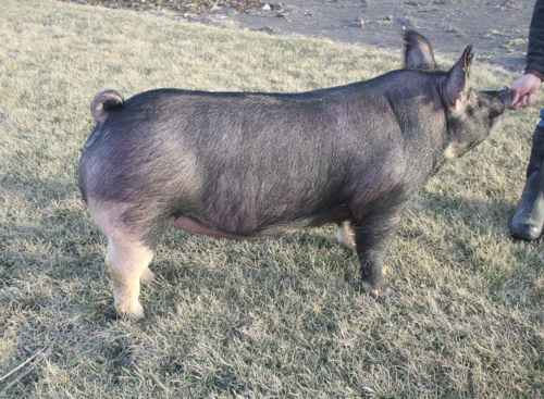 Berkshire Gilt Miss Magic 14-4 (Walter x Cobra)