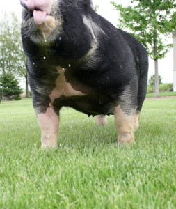 Berkshire Female Miss Magic 17-7 (Venom x Honey Badger)