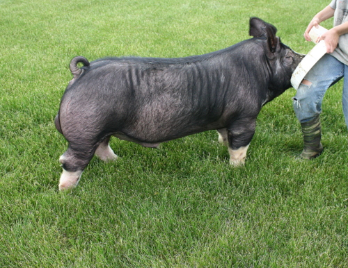 Berkshire Boar Urban Legend 114-2 (SuperFly x Out of Time)