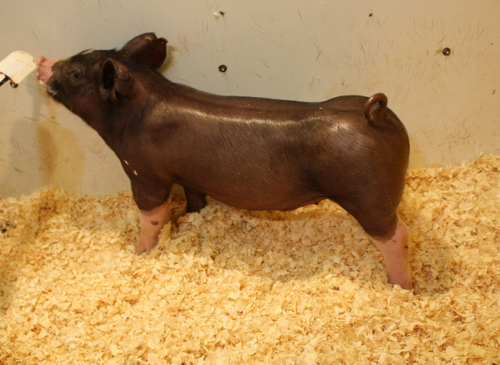 Poland Boar 10-5 (Storm Chaser x Done Deal)