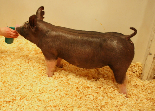 Berkshire Gilt 5-2 (Manny x Black Label)
