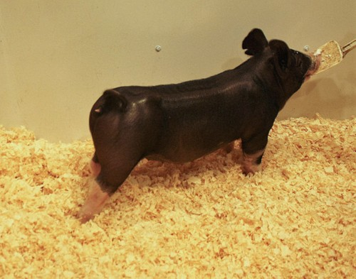 Berkshire Gilt Miss Magic 3-1 (I Do x Neon Cowboy)