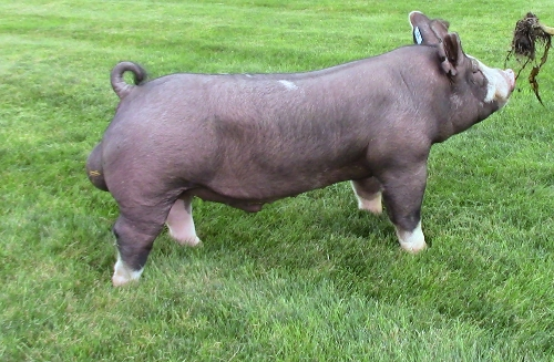 Boar sperm for sale