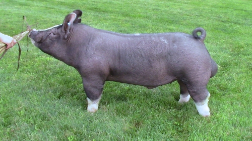 Can boar sperm for sale opinion