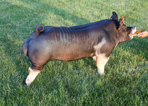 Berkshire Boar 5-2 (Top Gun x Dropout)
